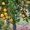Oranger bio