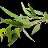feuillage eucalyptus globulus